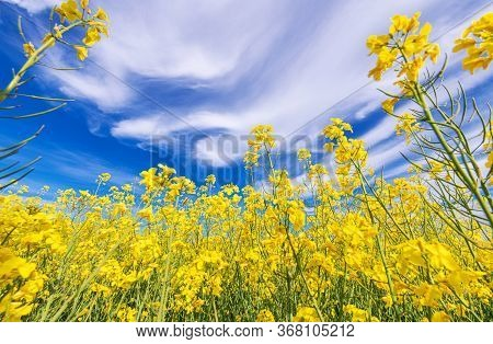 Scenic Nature Theme. Flowering Oilseed Rape Field Closeup With Blue Cloudy Sky Above. Agriculture In