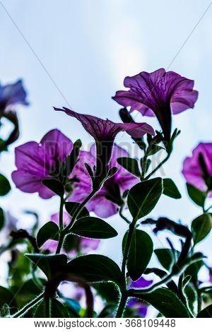 Flowers Purple Petunias. Flower Beds. Petunia Flowers On Green Background.