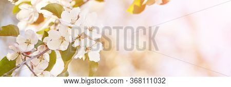 Apple Tree Floral. Bright Summer Background. Spring White Fruit Flowers. Spring Texture. Creative Tr