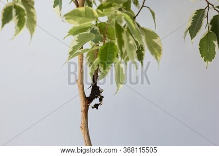 Houseplant Ficus Tree And Offshoot With Root After Being In Bag With Moss To Separate Branch From Th