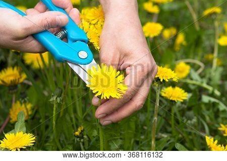 Woman Hand Cut Yellow Dandelion Bud Flower Using Pruner On The Green Meadow