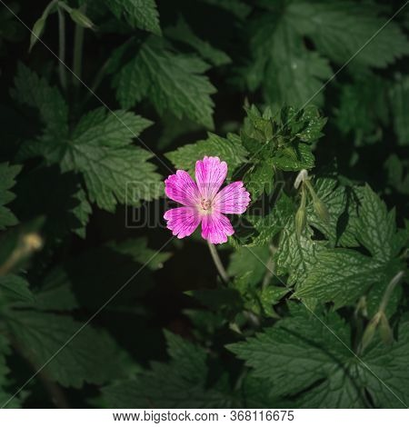 A Pink Endres Cranesbill Surrounded By Lush Green Vegetation And Plants