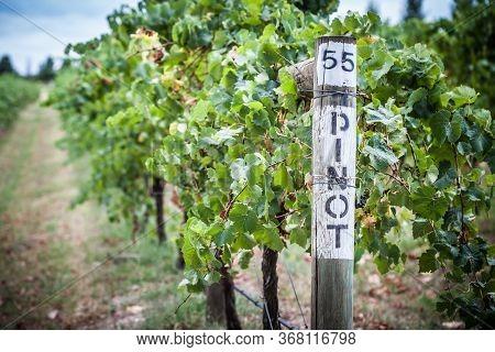Pinot Noir Grapevine In Yarra Valley Australia