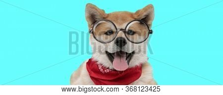 cute Akita Inu dog sticking out his tongue at camera, wearing a red bandana and eyeglasses on blue background