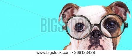 funny adorable English Bulldog dog sitting, wearing eyeglasses and looking at camera on blue background