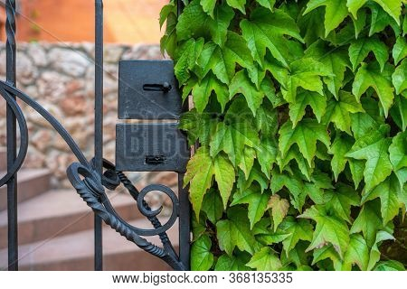 Green Leaves Of A Climbing Plant Of Wild Grapes Around A Black Metal Door, A Wicket Fence Against A