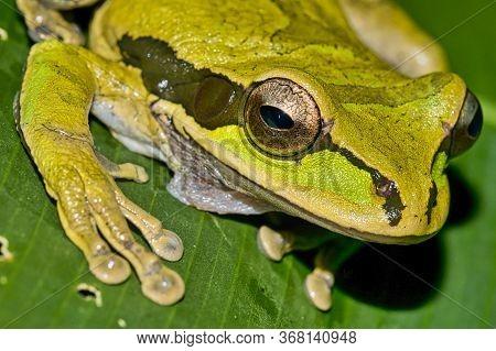 New Granada Cross-banded Tree Frog, Smilisca Phaeota, Tropical Rainforest, Corcovado National Park,