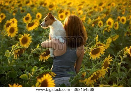 Girl With A Dog In A Field Of Sunflowers. A Woman Holds A Jack Russell Terrier In Her Arms. Walk Wit