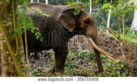Indian Elephant With Long Tusks Standing In Wild Tropical Jungle Forest On Sri Lanka