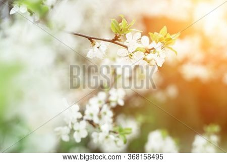 Beautiful Cherry Blossom In Evening Sunset Light Of Summer Garden. Sun Beams Toned In Warm Yellow An