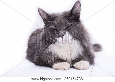 A Gray Pedigree Cat Lies On A White Background, With Closed Eyes And Cute Smiles At You, While It Lo