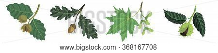 Vector Drawing Branches Of Trees With Leaves, Oak, Beech, Maple And Chestnut, Hand Drawn Illustratio