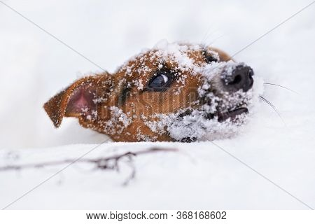 Small Jack Russell Terrier Dog Crawling In Very Deep Snow, Detail On Only Her Hair Visible In White