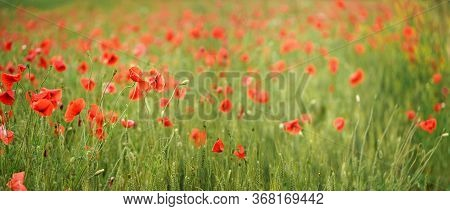 Red Wild Poppies Growing In Green Unripe Wheat Field, Shallow Depth Of Field Photo
