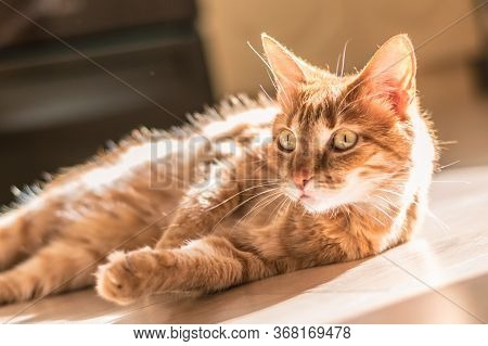 Sunny Portrait Of Cute Red Ginger Cat Lying On The Floor On A Light Laminate, Lazy Day. Shorthaired