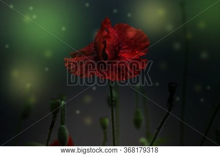 Poppy With Drops Of Water