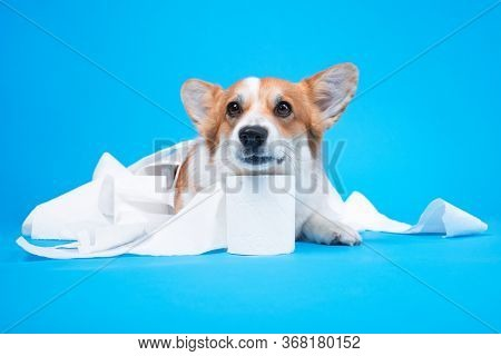 Cute Dog Is Playing With A Roll Of Peach Toilet Paper On Blue Background. Small Guilty Welsh Corgi P
