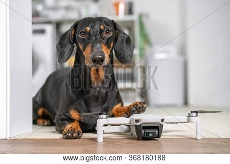 Smart Obedient Dachshund On Floor, Dogs Paw Lies On Drone. Modern Technology And The Robotization Of