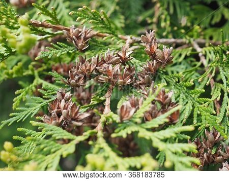 Close Up Of Cypress Cedar Tree Branch With Bunch Of Open Brown Cones. Thuja Occidentalis Bush Is Eve