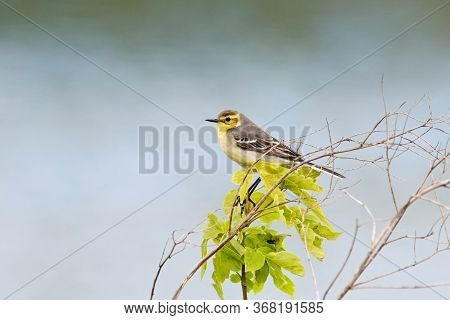 Citrine Wagtail Motacilla Citreola Female Sitting On Stick Of Grass On Shore. Cute Little Yellow Bir