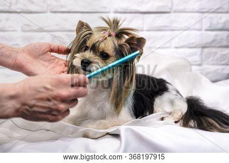 Pretty Yorkshire Terrier On Grooming Biewer Terrier