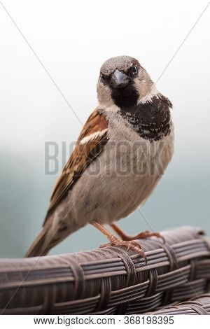Close Up Portrait Of House Sparrow Male (passer Domesticus) Passeridae Perching On The Backrest On I