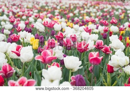 Happy Womens Day. Spring Floral Background. Perfume Fragrance And Aroma. Flowers Shop. Growing Flowe