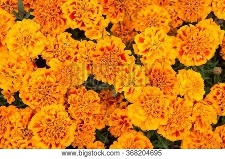 Splash Of Color In Any Garden. Marigold Flowered Bed. Marigold Tagetes Background. Blooming Marigold