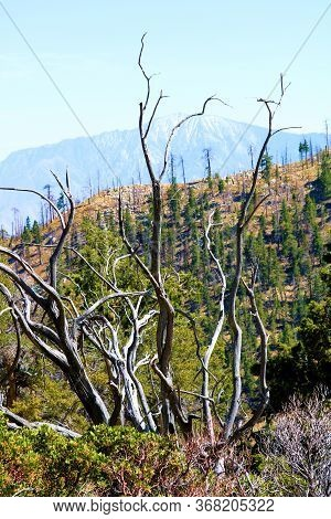 Burnt Chaparral Tree With Parched Branches Caused From A Past Wildfire On An Alpine Meadow On A Moun