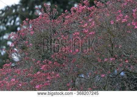 Pink Dogwood Tree At Vancouver Bc Canada