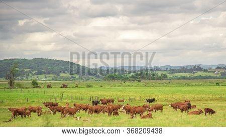 Winter Cattle Breeding In Brazil
