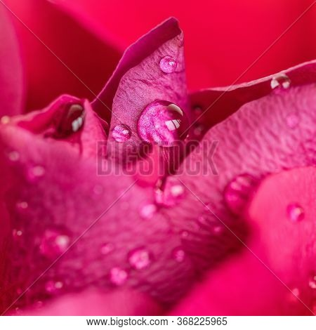Rose, Flower, Close-up, Raindrops, Drops, Background, Beautiful, Beauty, Bloom, Blossom, Botanic, Bo
