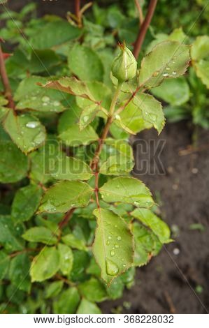 Rose Bud On A Long Stem With Leaves On Blurred Natural Background. Shallow Depth Of Field.