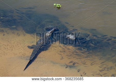 Aerial View Of A Nile Crocodile (crocodylus Niloticus) Waiting In An African River Surrounded By Fis