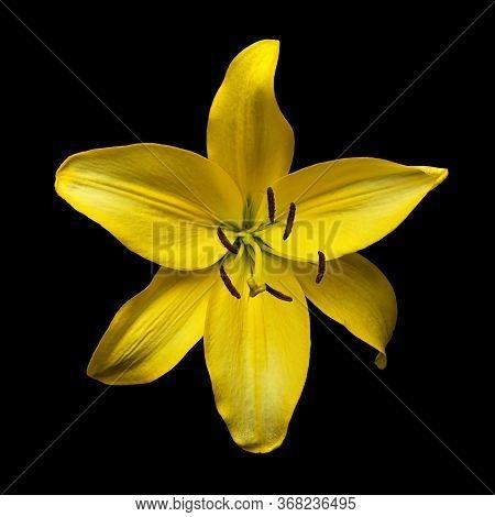 Yellow Flower Daylily Hemerocallis 'hyperion' Isolated On Black Background