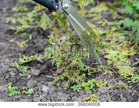 How To Grow And Care For Thuja Plants From Small Saplings: Trimming, Cutting, Pruning Small Thuja Ar