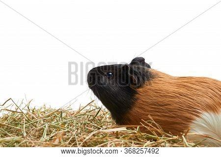 Guinea Pig Cavia Porcellus Is A Popular Household Pet. One Multi-colored Tri-colored Guinea Pig Stan