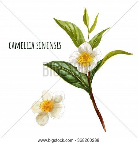 Camellia Sinensis, Green Tea Branch With Flowers