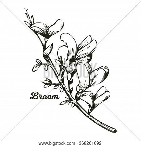 Broom Flower, Dyers Greenwood, Weed And Whin, Furze, Green Broom, Greenweed, Wood Waxen Vector Illus