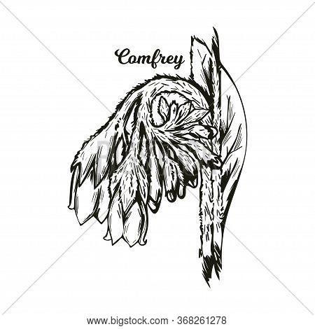 Comfrey Or Comphrey, Blackwort, Common Comfrey, Slippery Root Vector Illustration. Quaker-comfrey, C