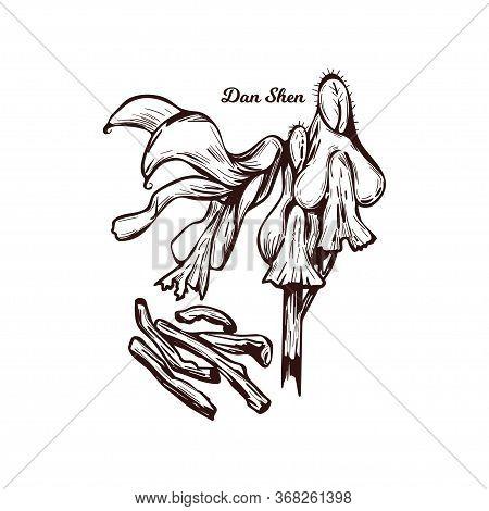 Dan Shen Red Chinese Sage, Tan Shen Vector Illustration Isolated. Salvia Miltiorrhiza, Danshen Peren