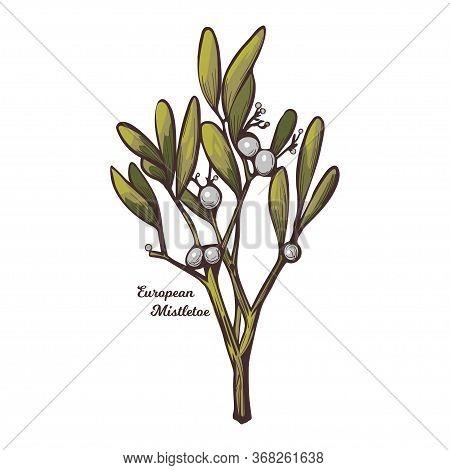 European Common Mistletoe Isolated Vector Illustration. Viscum Album, Mistle Viscum Album Growing On