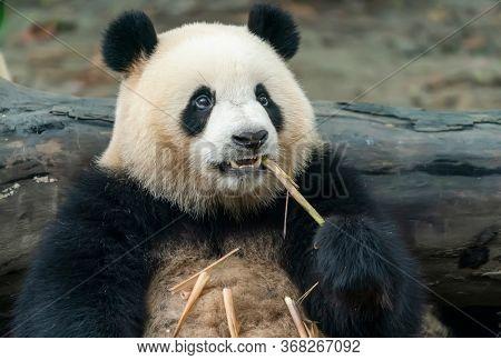 Panda eating shoots of bamboo. Rare and endangered black and white bear.