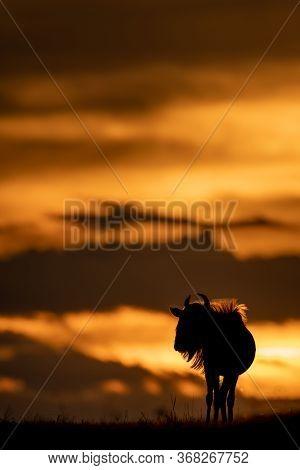 Blue Wildebeest Standing On Sunset Horizon Silhouetted