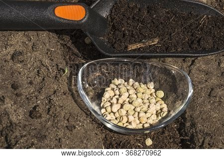 Spring Gardening. Manual Sowing Of Peas On The Bed.