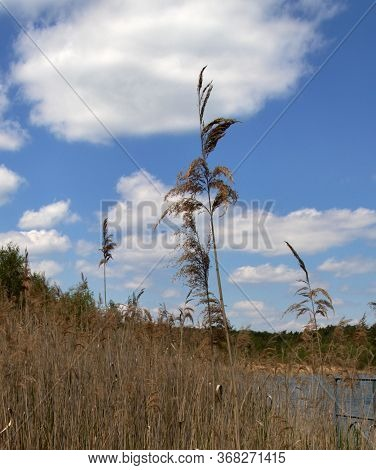 Mature Grass On The Edge Of Macha Lake, Blue Sky With Clouds, Still Life By The Water, Czech Republi