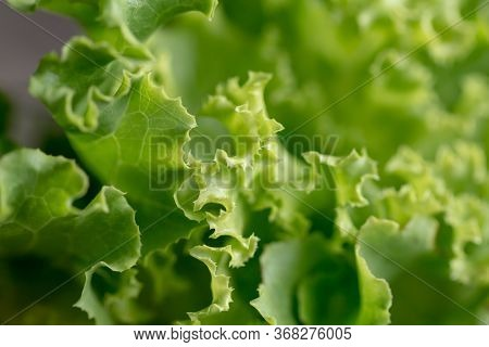 Some Details Of The Lactuca Sativa Leaf Or Lettuce Leaves Have Beautiful Greenery. In The Vegetable