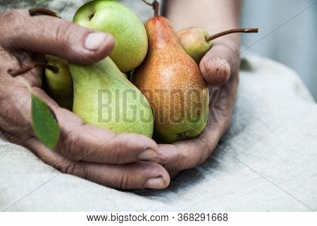 In Female Hands, Delicious Juicy Ripe Pears. Top View, Copy Space.