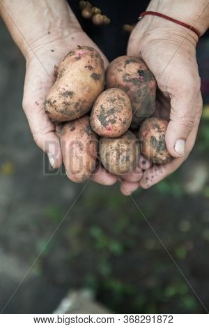 Red Dirty Fruit Potatoes In Female Hands, Close-up. View From Above. Copy Space