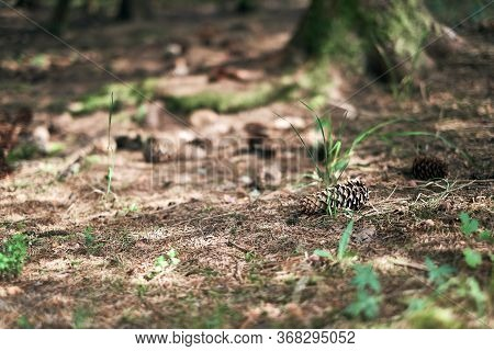 Brown Pine Forest Bottom With Fir Cones, Pine-needles And Little Green Sprouts On The Ground. Spring